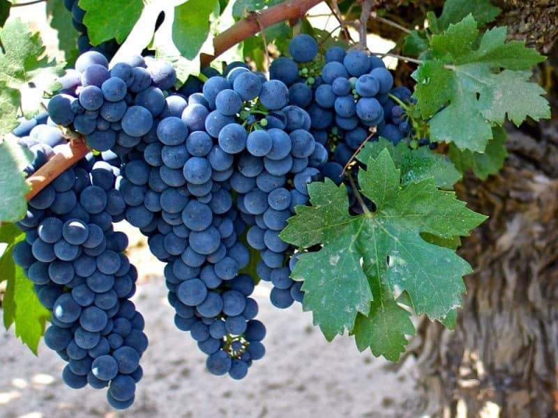food that starts with Z, the lot dallas, Zinfandel grapes